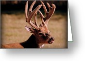 Fawns Greeting Cards - Sassy Buck in Velvet Greeting Card by Tam Graff
