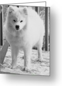 Dog Prints Greeting Cards - Sassy Samoyed Greeting Card by Lisa  DiFruscio