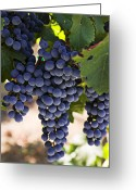 Vineyard Greeting Cards - Sauvignon grapes Greeting Card by Garry Gay