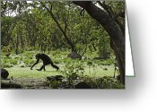Senegal Greeting Cards - Savanna-woodland Chimps Searching Greeting Card by Frans Lanting