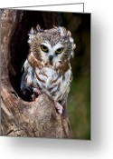 Sparrow Greeting Cards - Saw-whet Owl Greeting Card by Wade Aiken