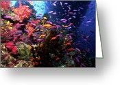 Vertebrate Greeting Cards - Scalefin Anthias Fish In Coral Garden Greeting Card by Beverly Factor