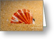 Marine Animals Greeting Cards - Scallop Shell Greeting Card by Cheryl Young