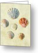 Seashell Photography Greeting Cards - Scallop Shells Greeting Card by Paul Grand Image