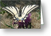 Cocoons Greeting Cards - Scarce Swallowtail Greeting Card by Eric Kempson