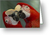 Amazon Parrot Greeting Cards - Scarlet Macaw Ara Macao Pair Kissing Greeting Card by Zssd