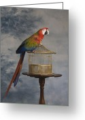 Gilded Cage Greeting Cards - Scarlet Macaw (ara Macao) Sitting On Cage Greeting Card by Rosanne Olson