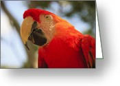 Sea Animal Greeting Cards - Scarlet Macaw Parrot Greeting Card by Adam Romanowicz