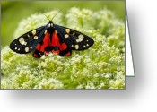 Colour Image Greeting Cards - Scarlet Tiger moth Greeting Card by Gabriela Insuratelu