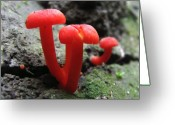 Oldgrowth Greeting Cards - Scarlet Waxcap Greeting Card by Joshua Bales