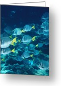 Marine Animals Greeting Cards - School Of Surgeonfish Cruising Reef Greeting Card by James Forte