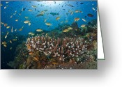Saltwater Fish Greeting Cards - Schooling Anthias Over Reef, Dumaguete, Negros Island, Philippines Greeting Card by Oxford Scientific