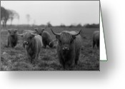 Livestock Greeting Cards - Scottish Highland Cattle On Field Greeting Card by Stephan Ohlsen