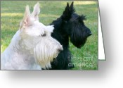 Terriers Greeting Cards - Scottish Terrier Dogs Greeting Card by Jennie Marie Schell