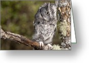 Lichen Image Greeting Cards - Screech Owl  Greeting Card by Cindy Lindow