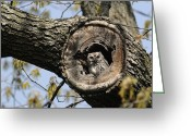 Looking At Camera Greeting Cards - Screech Owl In A Tree Hollow Greeting Card by Darlyne A. Murawski