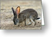 Jackrabbit Greeting Cards - Scrub Hare Greeting Card by Peter Chadwick