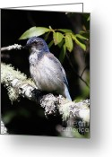 Perched Birds Greeting Cards - Scrub Jay . 7D6663 Greeting Card by Wingsdomain Art and Photography