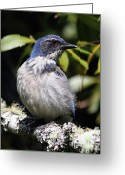 Perched Birds Greeting Cards - Scrub Jay . 7D6670 Greeting Card by Wingsdomain Art and Photography