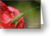 Grasshopper Greeting Cards - Scudders Bush Katydid Nymph Greeting Card by Wingsdomain Art and Photography