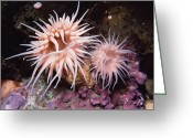 Admiralty Greeting Cards - Sea Anemones In  Admiralty Inlet Greeting Card by Flip Nicklin