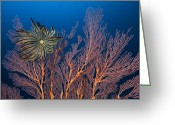 Immobile Greeting Cards - Sea Fan And Crinoid Greeting Card by Matthew Oldfield