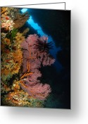 Crevice Greeting Cards - Sea Fans And Crinoid, Fiji Greeting Card by Todd Winner