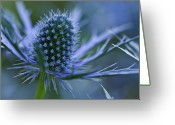 Thistle Greeting Cards - Sea Holly Greeting Card by Laszlo Podor Photography
