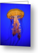 Indoors Photo Greeting Cards - Sea Nettle Jellyfish (chrysaora Quinquecirrha) In An Aquarium Greeting Card by Patrick Strattner