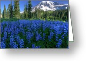 Lupines Greeting Cards - Sea of Blue Greeting Card by Dan Mihai