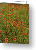 Texas Hill Country Greeting Cards - Sea of Red Greeting Card by Robert Anschutz
