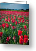 Spring Tulip Greeting Cards - Sea of Red Tulips Greeting Card by Inge Johnsson
