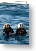 Prince Greeting Cards - Sea Otter Pair Greeting Card by Adam Pender