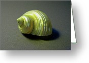 Skeletal Greeting Cards - Sea Shell Turbo marmoratus Greeting Card by Frank Wilson
