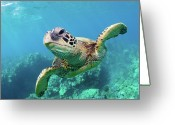 Swimming Greeting Cards - Sea Turtle, Hawaii Greeting Card by Monica and Michael Sweet