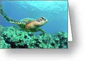 Pacific Islands Greeting Cards - Sea Turtle In Coral, Hawaii Greeting Card by M Sweet