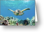 Coral Reef Greeting Cards - Sea Turtle Maui Greeting Card by M.M. Sweet
