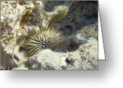 Hawaiian Food Greeting Cards - Sea Urchin Greeting Card by Michael Peychich