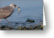 Seagull Photo Greeting Cards - Seafood For Breakfast Greeting Card by Karol  Livote
