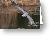 Seagull Photo Greeting Cards - Seagull Seagull On The Move Greeting Card by Deborah Benoit