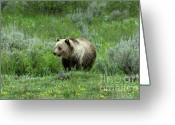 Grizzly Bears Greeting Cards - Searching For Berries Greeting Card by Sandra Bronstein