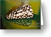 Shell Texture Greeting Cards - Seashell Wall Art 4 - Conus Marmoreus Greeting Card by Kaye Menner
