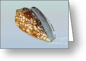 Shell Texture Greeting Cards - Seashell Wall Art 5  - Conus Textile Greeting Card by Kaye Menner