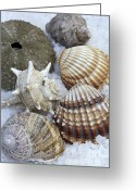 Seashell Art Photo Greeting Cards - Seashells Greeting Card by Frank Tschakert