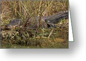 Photo Greeting Cards - See you later Alligator Greeting Card by Juergen Roth