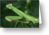 Mantis Greeting Cards - Seeing Green Greeting Card by Shane Bechler