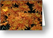Cultivars Greeting Cards - Sending Joy Chrysanthemums Greeting Card by Debra  Miller