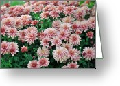 Cultivars Greeting Cards - Sentimental Surprise Chrysanthemum Greeting Card by Debra  Miller