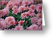 Cultivars Greeting Cards - Sentimental Surprise Chrysanthemum Mums Greeting Card by Debra  Miller