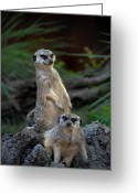 Wildlife Photos Greeting Cards - Sentry Greeting Card by Skip Willits